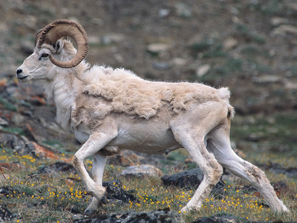 subhankar banerjee dall sheep in the arctic national wildlife refuge