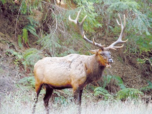 Elk at Sinkyone Wilderness